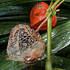 Rainy Touches by Marija Jilek - Nature Up Close Other Natural Objects ( nature, lace lantern, touches, fruits, drops, plants, seeds, physalis alkekengi, stem, leaves, snail, rain )