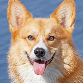 Sunny boy by Mia Ikonen - Animals - Dogs Portraits ( water, content, pembroke welsh corgi, focused, finland )