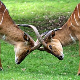 Nyala by Ralph Harvey - Animals Other Mammals ( nyala, wildlife, ralph harvey, marwell zoo, animal )