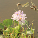 Common Water Hyacinth