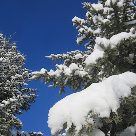 Blue Sky Beauty by Linda Doerr - Nature Up Close Trees & Bushes ( evergreens, winter, blue sky, spruce, snow, trees, branches,  )