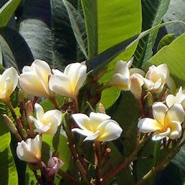 Champa by Ranjana Bharij - Novices Only Flowers & Plants