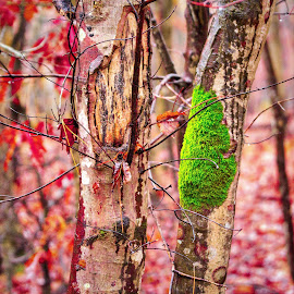 Moss is Fall Colors by Lou Plummer - Nature Up Close Other plants ( walking, park, autumn, fall, fayetteville, hiking )