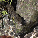 Diamondback Watersnake