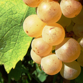 Vitis vinifera by Babica Slez - Nature Up Close Gardens & Produce (  )