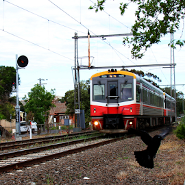 V-Line Sprinter 7020 by Peter Keast - Transportation Trains ( bird, diesel, commuter, train, transportation )