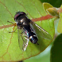 Carposcalis Syrphidae