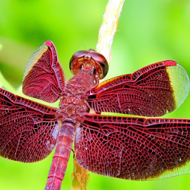 Dragonfly by Yusop Sulaiman - Animals Insects & Spiders