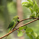 Rose Ringed Parakeet (Female)