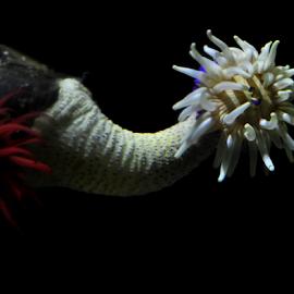 Anemone by Lennon Fletcher - Animals Sea Creatures ( creature, white, sea, tentacles, sea anemone )