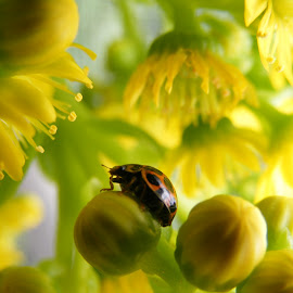In a world of yellow. by Esther Van De Belt - Animals Insects & Spiders ( macro, ladybird, yellow, ladybug, flower,  )