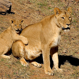 Mom & Son by Roy Walter - Animals Lions, Tigers & Big Cats ( lion, animals, zoo, cub )