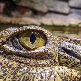 Crocodile Eye by Josh Gurulé - Animals Reptiles ( water, crocodile, reptile, animal, eye,  )