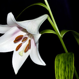 Lily by Wendy Faber - Novices Only Flowers & Plants