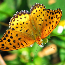 斐豹蛺蝶 Indian Fritillary (Argyreus hyperbius) by Kwong Chung-man - Animals Insects & Spiders ( animal, butterfy )