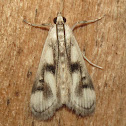 Polymorphic Pondweed Moth