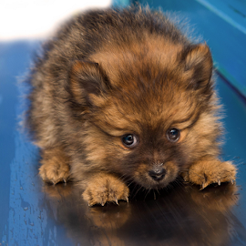 yippei by Michael  M Sweeney - Animals - Dogs Puppies ( natural light, joyfull, pom, joy, nice, puppy, michael m sweeney, nikon, pomeranian )