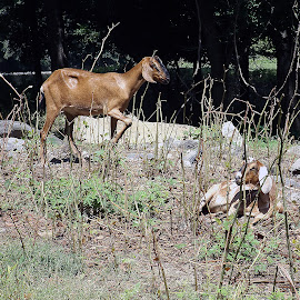 Watching You by Scott Strausser - Novices Only Wildlife ( goats, animals, nature, wildlife )
