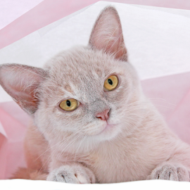 Princess Misti by Mia Ikonen - Animals - Cats Kittens ( focused, finland, cute, burmese, at ease )