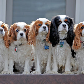 Family by Angie Arnold - Animals - Dogs Portraits ( cavalier, dogs, spaniel, family, king charles spaniel )