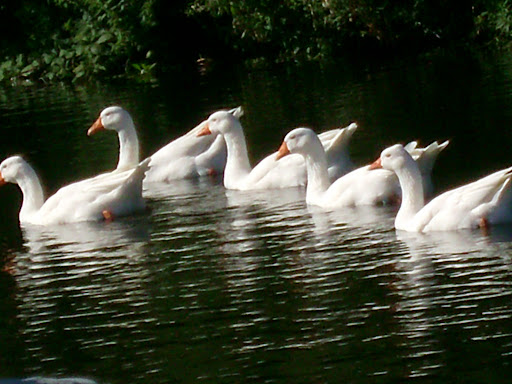 pacing, ducks, swans, PR, google PR, blogging, blogging and ducks, posting, blog posting, posting frequency, blog post frequency, swimming swans