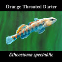 Orange Throated Darter