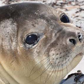 elephant seal pup  by Janet Rose - Novices Only Wildlife ( , sea creatures, underwater life, ocean life )