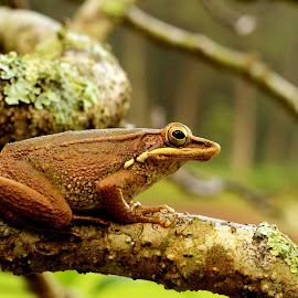 Only Frog by Chandra Kushartanto - Animals Reptiles
