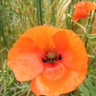 Common Poppy
