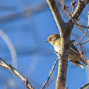 Yellow-rumped Warbler (female; 1st winter)