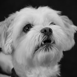 Saved by Roland Bast - Animals - Dogs Portraits ( canada, black and white, rescued, dog,  )