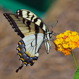 Yellow Butterfly by Mark Luftig - Animals Insects & Spiders ( butterfly, lantana, yellow )