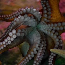 Squid by Tom Shope - Animals Sea Creatures ( sea life, sea creature, octopus, squid, tentacles,  )