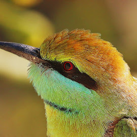 Green Bee Eater by Lucky Jaiswal - Animals Birds (  )