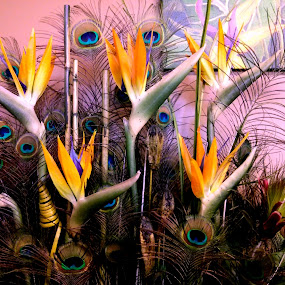Peacocks and Paradise by Steve Cooper - Nature Up Close Other Natural Objects ( blooms, contrasts, feathers, mix, colours )