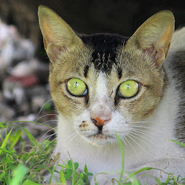 WHO BLINKS FIRST. by Ravi Kant Khanna - Animals - Cats Portraits