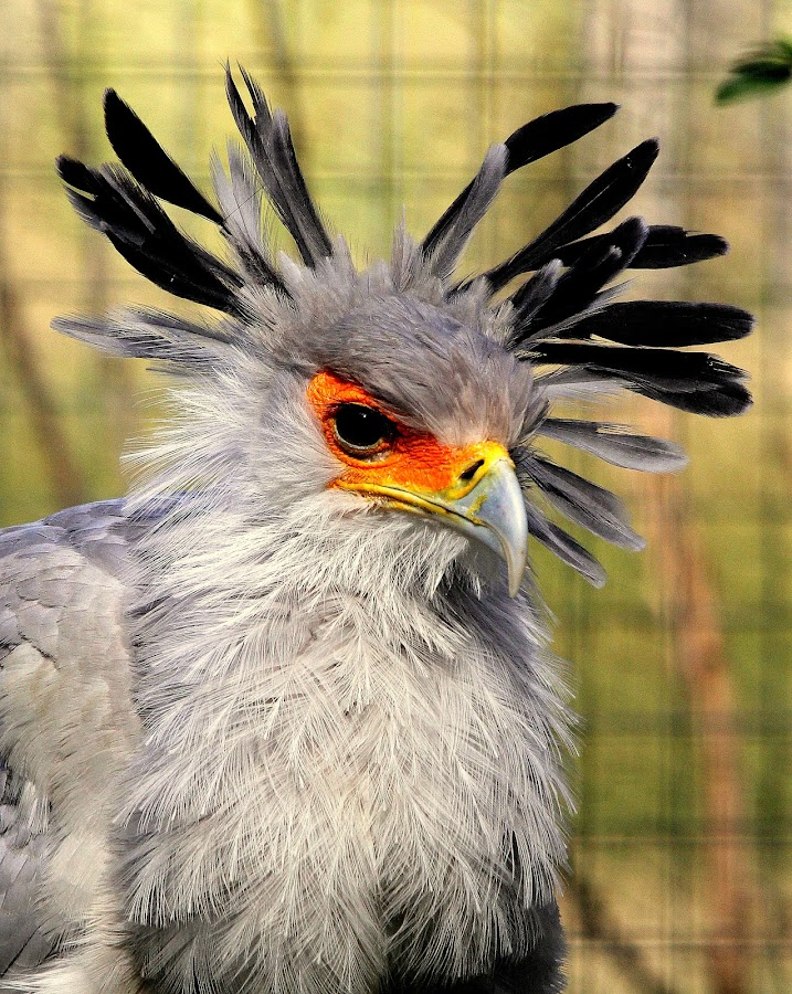 Secretary Bird by Ralph Harvey - Animals Birds ( wildlife, ralph harvey, marwell zoo )