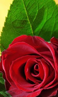 3D Love Roses Live Wallpaper - screenshot