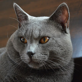 Hugo, Chat des Chartreux by Serge Ostrogradsky - Animals - Cats Portraits ( ambre, chartreux, chat, ardoise, hugo )