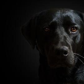 Kate Rhinestone by Michael Van Hulle - Animals - Dogs Portraits ( canine, ball, walks, pet, dog portrait, black lab, dog, labrador, lab, black, animal )