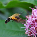 Pelucid Hawk Moth