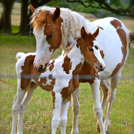 Comfort of a Sibling by Jennifer Earlston - Animals Horses ( baby, young, animal )