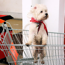 Little bell by Claudiu Petrisor - Animals - Dogs Portraits ( bichon, market, red scarf, white, puppy,  )