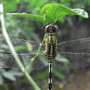 Green Marsh Hawk / slender skimmer