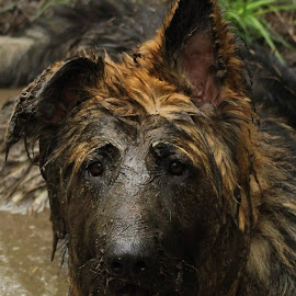 Oscar The Mudlark! by Jon Horlor - Animals - Dogs Playing ( playing, mud, dog, german shepherd, portrait )
