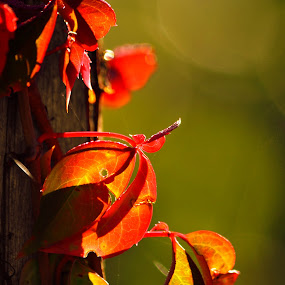 leaves changing colors by Pamela Chandra - Nature Up Close Leaves & Grasses ( lights, color, fall, morning, leaves, colorful, nature )