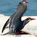 Incan Tern