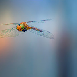 --*-- by Vasil Anastasovski - Animals Insects & Spiders ( animals, macro, fly, insect, dragonfly )