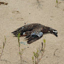 Blue-winged Teal Duck (deceased)