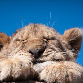 Lion cub by Alexander Mavrakis - Animals Lions, Tigers & Big Cats ( south africa, sleepy, baby, cute, lion cub )